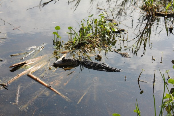 baby gator at Saw Grass Mills