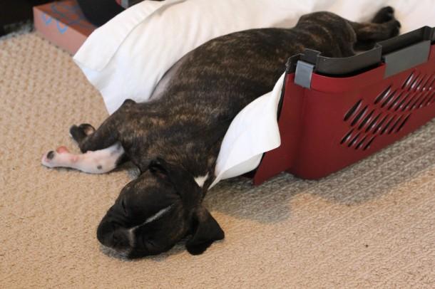 bug puppy