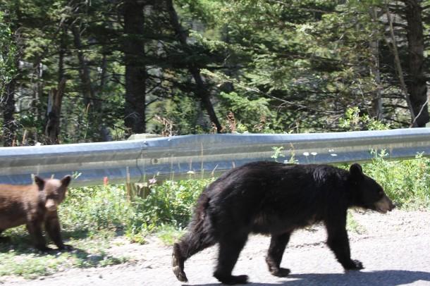 bears in Waterton